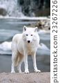 White wolf in forest 23267226