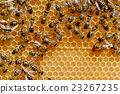Bees on honey cells 23267235