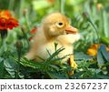 Yellow duckling 23267237