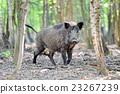 Wild boar 23267239