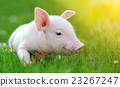 Young pig on a green grass 23267247