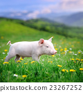 Young pig on a green grass 23267252