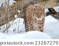 Lynx in winter 23267270