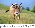 Cow on mountain pasture 23267275