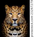 Leopard portrait 23267279