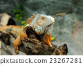 Iguana 23267281