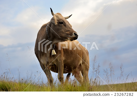 Cow on mountain pasture 23267282