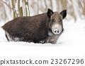 Wild boar 23267296