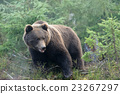 Brown bear 23267297