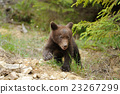Brown bear cub 23267299