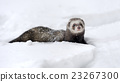 Wild ferret in snow 23267300