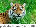 Tiger 23267304