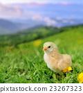 Little chicken 23267323