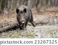 Wild boar 23267325