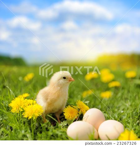 Little chicken 23267326