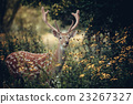 Whitetail deer 23267327