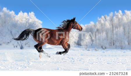 Horse 23267328