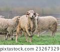 Sheep 23267329