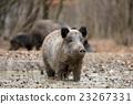 Wild boar 23267331