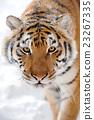 Tiger 23267335