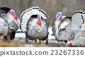 Turkey-cock 23267336