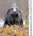Turkey-cock 23267337