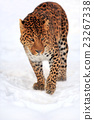animal, leopard, wildlife 23267338