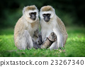 Vervet monkey 23267340