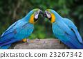 Parrot bird (Severe Macaw) 23267342