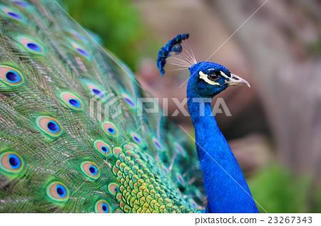 Peacock 23267343