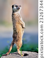 A meerkat standing upright and looking alert 23267344