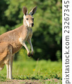 Kangaroo 23267345