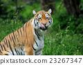Tiger 23267347