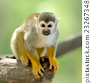 Close-up of a Common Squirrel Monkey 23267348