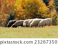 Sheep on a field 23267350