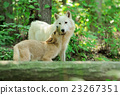 White wolf in forest 23267351