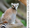 Young ring-tailed lemur 23267352