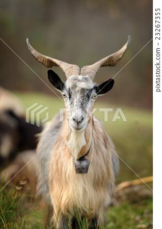 Goat in mountain. Autumn season 23267355