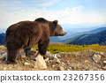 Brown bear 23267356