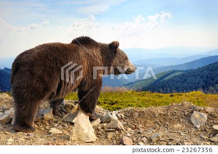 Stock Photo: Brown bear