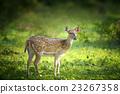 Wild Spotted deer 23267358