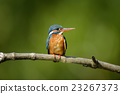 Blue Kingfisher bird 23267373