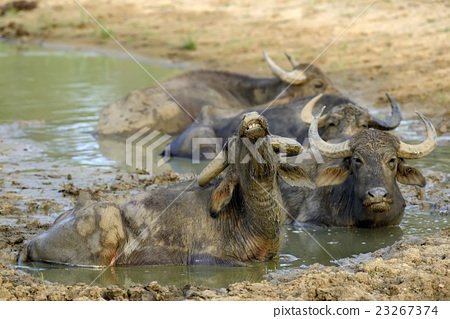 Water buffalo are bathing in a lake 23267374