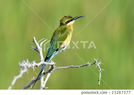 Little Green Bee-eater 23267377