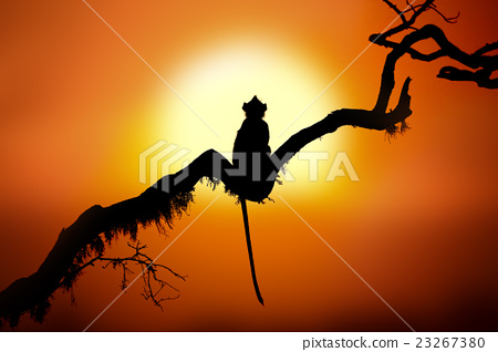 Silhouette of a monkey in sunset 23267380