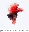 Red betta fish on white background 23269174
