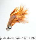 yellow betta isolated on white background 23269192