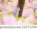 산비둘기와 카와 벚꽃 23271248