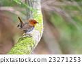知更鳥 蛛蛛 小鳥 23271253
