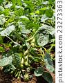 crop, edamame, field 23273363